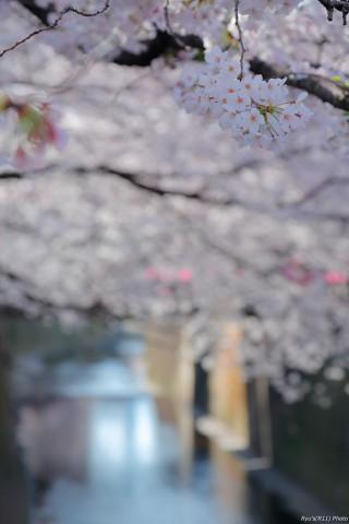 【ダイジェスト】東京桜散歩